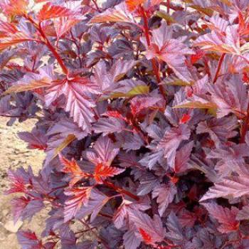 Vörös levelű hólyagvessző - Physocarpus opulifolius Andre