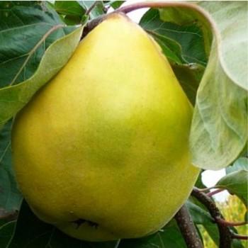 Vranja birs Cydonia oblonga Vranja gyümölcsfa