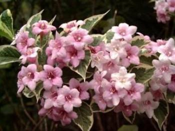 Tarka levelű rózsalonc - Weigela florida Variegata