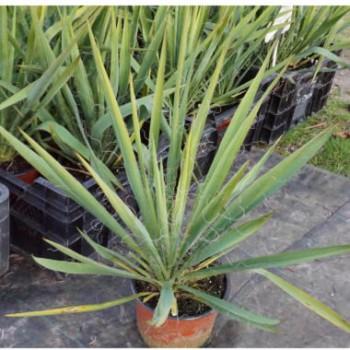 Kerti pálmaliliom - Yucca filamentosa