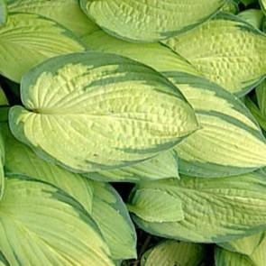 Árnyékliliom sárga levelű - Hosta Gold Standard