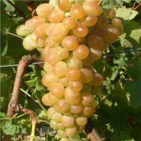 Afuz-Ali csemegeszőlő oltvány