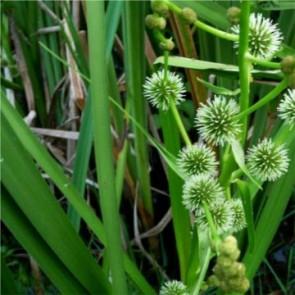 Ágas békabuzogány - cserepes tavi növény vízinövény