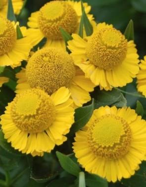 Napfényvirág aranysárga Helenium Tijuana Brass