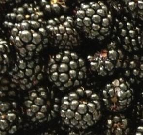 Arapaho szeder - Bogyós gyümölcsök Szeder fajták