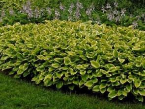 Sárga tarka levelű árnyékliliom - Hosta Golden Tiara