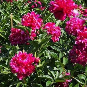 Illatos bazsarózsa Piros Paeonia Karl Rosenfield