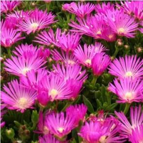 Bíborvörös délvirág virágok - Delosperma cooperi