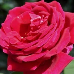 Krimzon pirosteahibrid vágó rózsa - Rosa Mister Lincoln - Konténeres rózsák