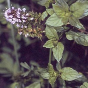Fűszernövények Borsmenta gyógynövény fűszernövény - Mentha x piperita