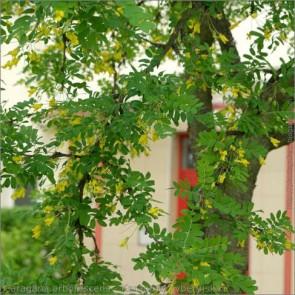 Borsófa - Caragana arborescens, Fotó:Babij, Flickr