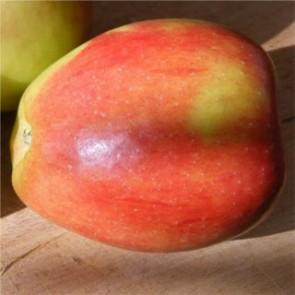 Braeburn alma - Almafa oltványok