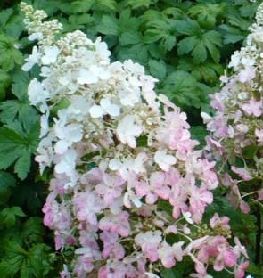 Bugás hortenzia fehér rózsaszín Hydrangea paniculata Ruby