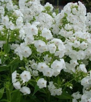 Bugás lángvirág fehér Phlox paniculata David