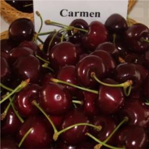 Carmen cseresznyefa - Cseresznye oltvány