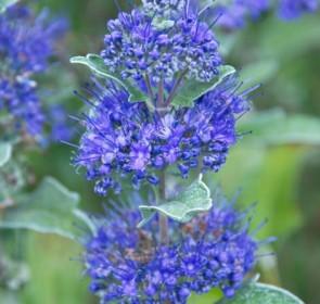 Kékszakáll Caryopteris clandonensis Grand Blue