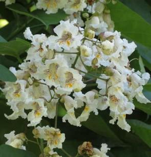 Szívlevelű szivarfa, Catalpa bignonioides