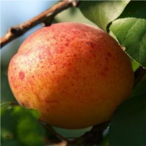 Ceglédi óriás kajszi gyümölcsfa
