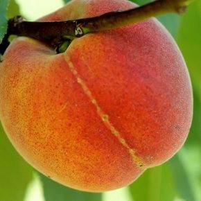 Champion őszibarack gyümölcsfa