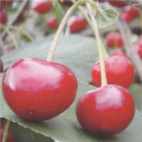Cigánymeggy - meggy fajták gyümölcsfa vásárlás