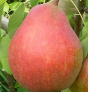 Clapp kedveltje körte gyümölcsfa