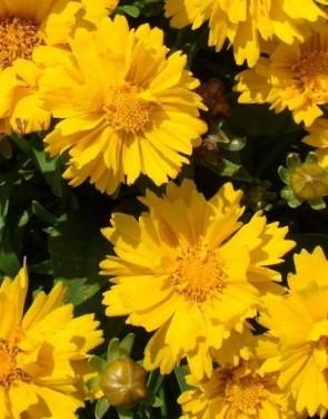 Nagyfészkű menyecskeszem – Coreopsis grandiflora Illico