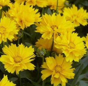 Menyecskeszem Coreopsis grandiflora Presto
