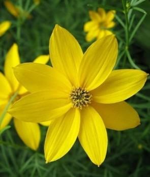 Menyecskeszem, Szépecske Coreopsis grandiflora