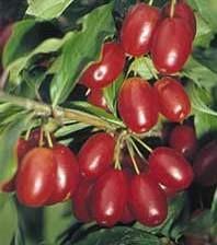 Húsos som gyümölcs - Cornus mas