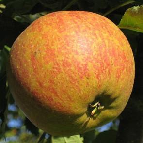 Cox narancs renet alma