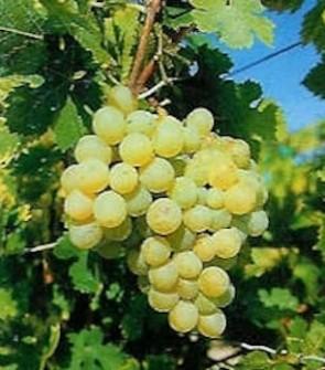 Csabagyöngye csemegeszőlő