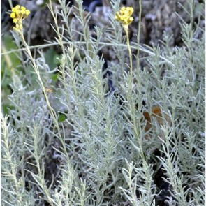 Olasz szalmagyopár, Curry - Helichrysum italicum