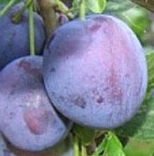 Debreceni muskotály szilva gyümölcsfa