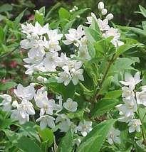 Érdeslevelű gyöngyvirágcserje virág - Deutzia scabra virágos cserje