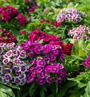 Törökszegfű színkeverék - Dianthus barbatus Barabarini Formula Mix