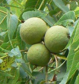 Dió - Juglans regia gyümölcs erdei gyümölcsök