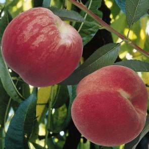 Dixired őszibarackfa - Gyümölcsfa
