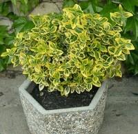 Aranytarka kúszó kecskerágó - Euonymus fortunei Emeraldn Gold