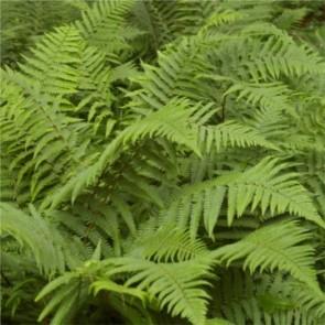 Erdei pajzsika - Dryopteris filix-mas
