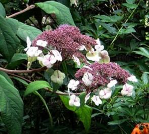 Érdeslevelű hortenzia – Hydrangea aspera