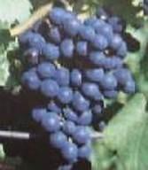 Eszter csemegeszőlő oltvány