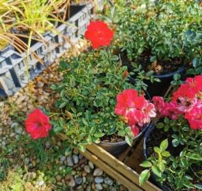 Sötét rózsaszín piros virágú talajtakaró rózsa Rosa Fairy Rood