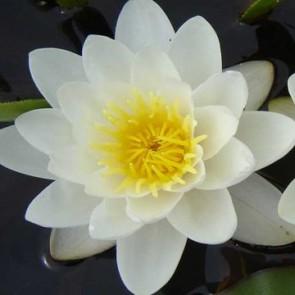 Fehér virágú tavirózsa Nymphaea Marliacea Albida tavi növény, tündérrózsa