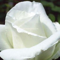 Fehér virágú futórózsa - Ida Klemm - Konténeres rózsák