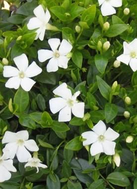 Fehér virágú meténg - Vinca minor Elisa