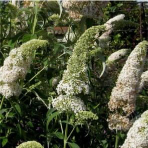 Fehér virágú nyáriorgona - Buddleja davidii White Profusion