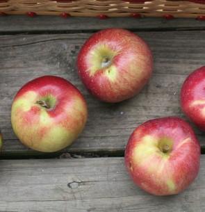 Florina almafa gyümölcsfa oltvány