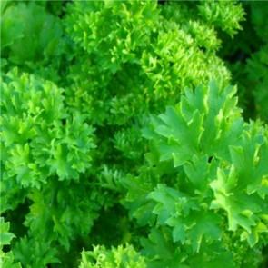 Fűszernövények Fodros levelű metélőpetrezselyem - Petroselinum crispum
