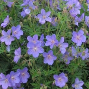 Kék virágú gólyaorr - Geranium Johnson 's Blue