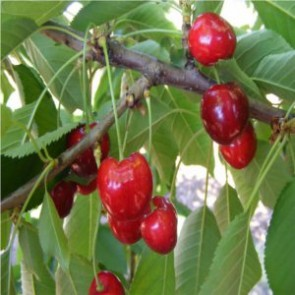 Germersdorfi 3 cseresznye - Cseresznyefa oltványok